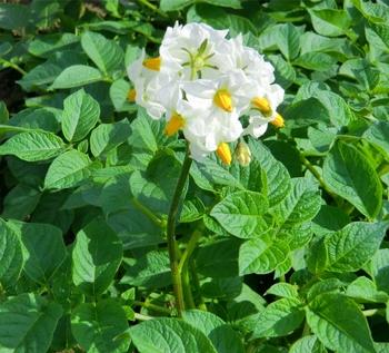 ジャガイモの花 (1280x1161).jpg